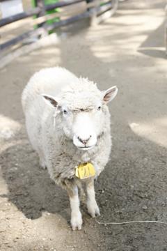おなかすいた羊