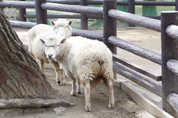 ふりかえった羊