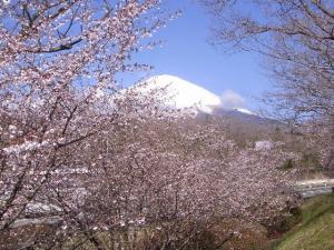 マメザクラと富士山 クリックで拡大