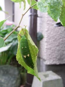 ゴマダラチョウ幼虫 クリックで拡大