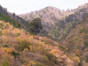 紅葉の中の弁天杉 クリックで拡大