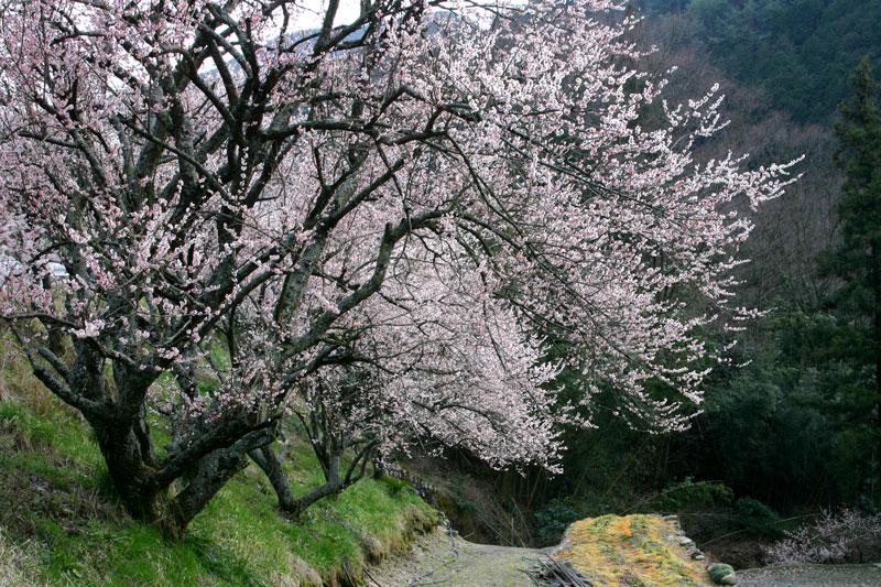 里山に薫る (香川県 仲多度郡 まんのう町)