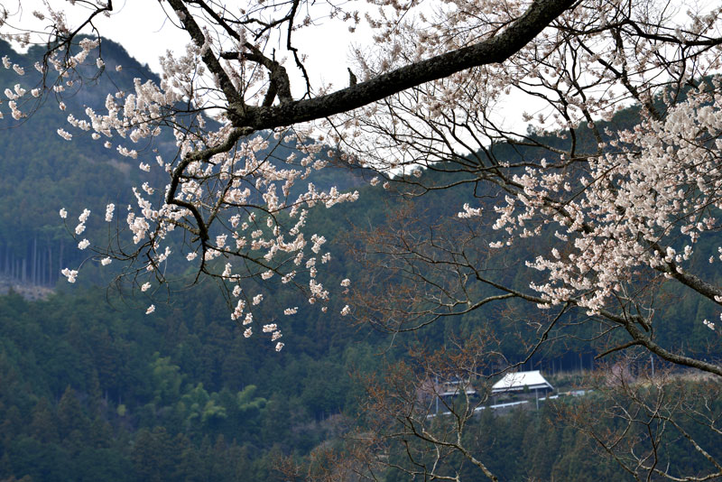 悠久のヒガン桜 (徳島県 美馬市 木屋平)