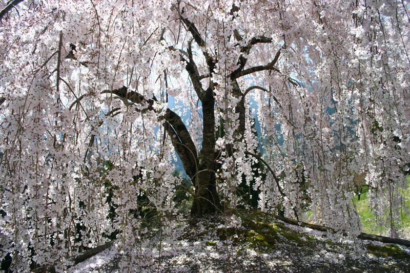 妖艶 しだれ桜 (徳島県 美馬市 木屋平)