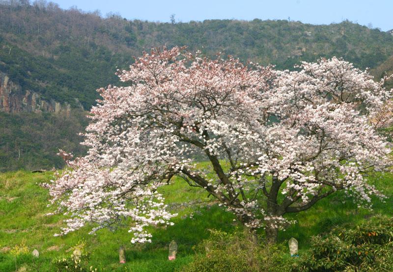 守りの桜 (香川県 坂出市 大屋冨町)