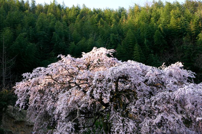 朝日に輝くしだれ桜 (香川県 綾歌郡 綾川町)