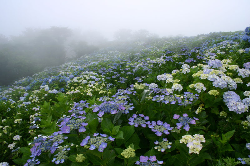 霧のアジサイ高原 (徳島県 名東郡 佐那河内 大川原高原)