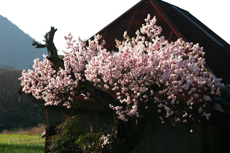 杏咲く古民家 (香川県 坂出市 玉越町)