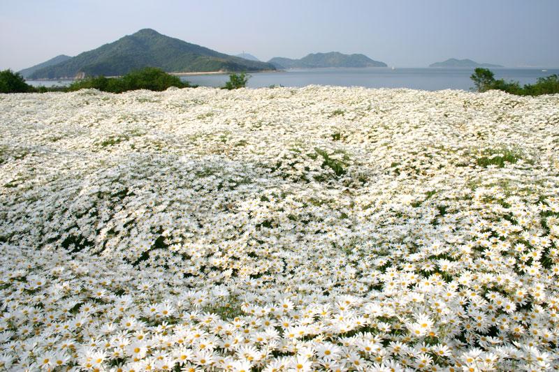 花のジュータン マーガレット (香川県 三豊市 詫間町)