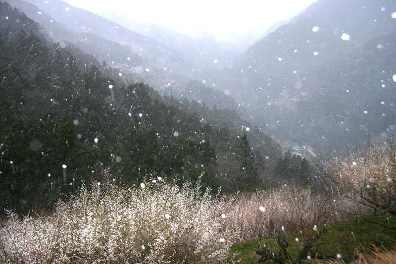 雪舞う梅林 (徳島県 吉野川市 美郷)