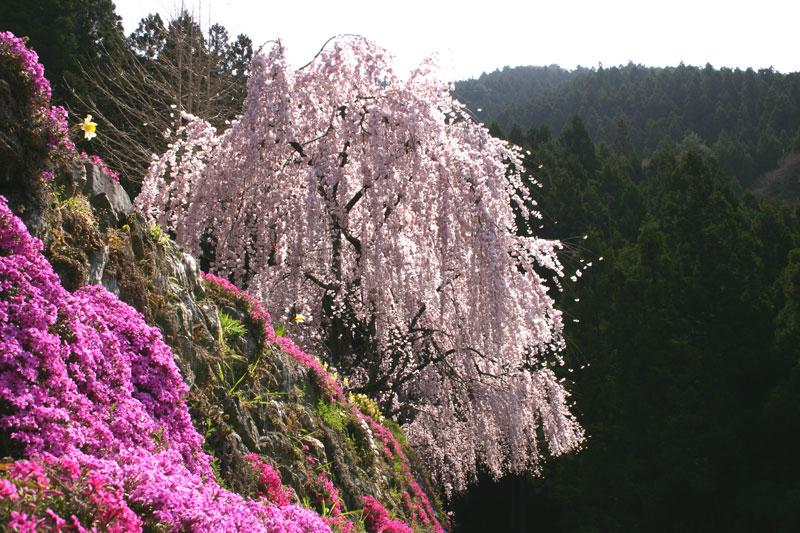 芝桜と共に (徳島県 美馬市 木屋平)