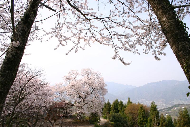 ひょうたん桜を求めて (徳島県 美馬郡 つるぎ町)