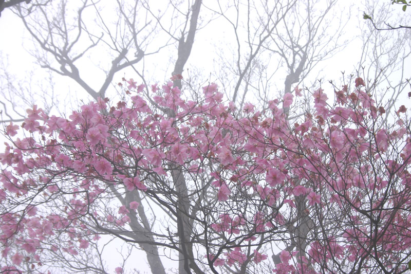 霧中 アケボノツツジ1 (徳島県 名西郡 神山町)