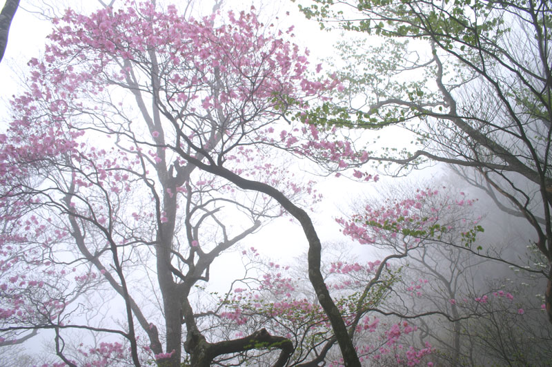 霧中 アケボノツツジ2 (徳島県 名西郡 神山町)