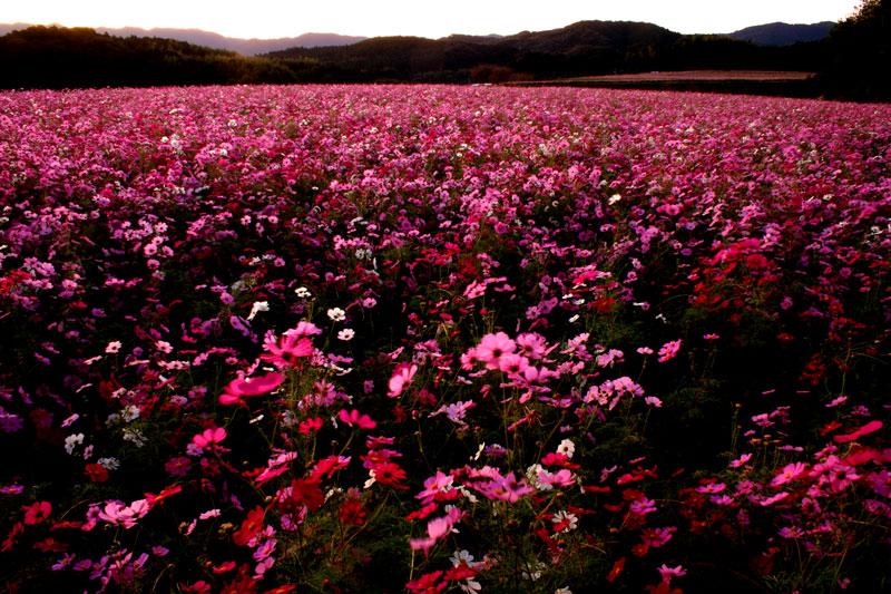 朝焼 秋桜の丘 (高知県 幡多郡 大月町)
