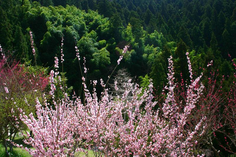 春に萌える (徳島県 吉野川市 美郷)