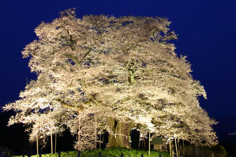 ライトアップ 醍醐桜 (岡山県 真庭市 落合)