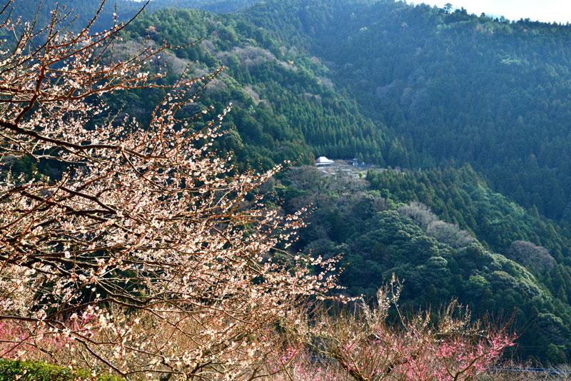 山里梅花 (徳島県 吉野川市 美郷)
