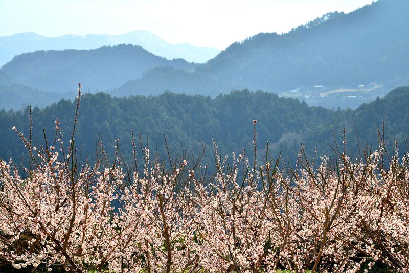 梅咲く山里 (徳島県 名西郡 神山町)