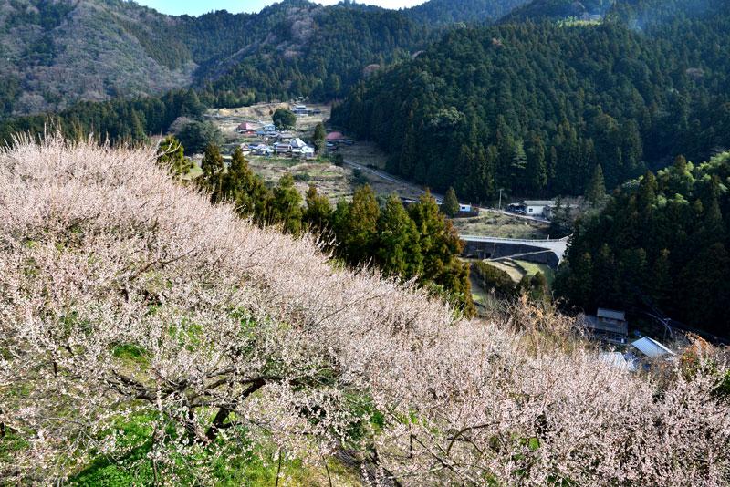 阿川 梅ノ里 (徳島県 名西郡 神山町 阿川)