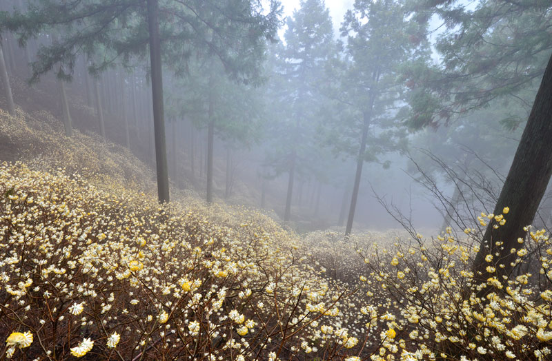 三椏 霧に覆われて (徳島県 名西郡 神山町)