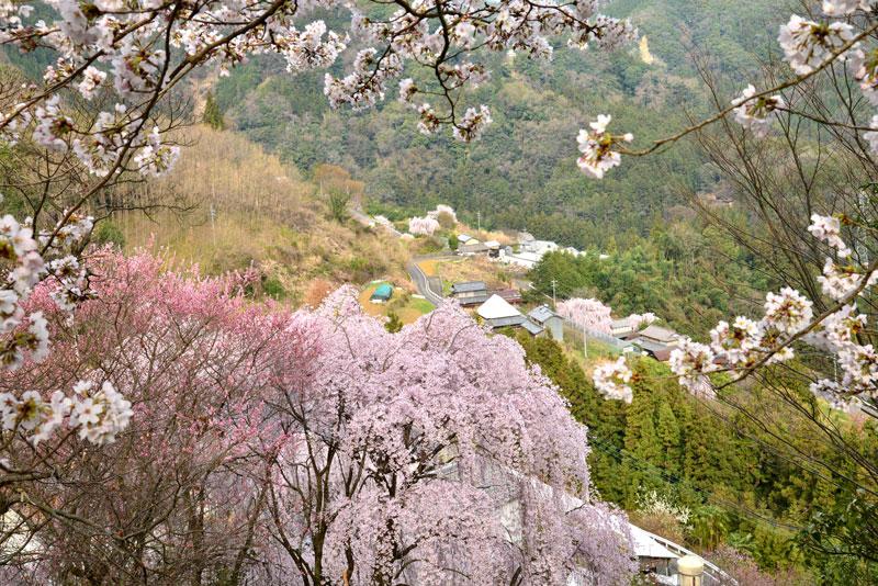 里山の春1 (徳島県 美馬郡 つるぎ町)