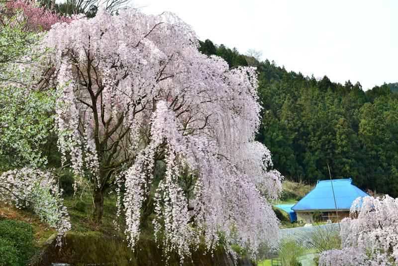 花と共に (徳島県 美馬郡 つるぎ町)