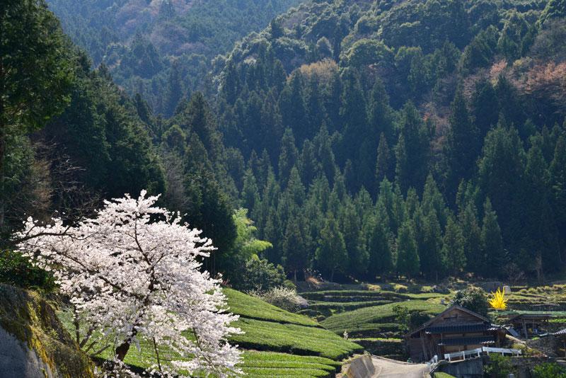 里山一本桜 (徳島県 美馬市 穴吹)