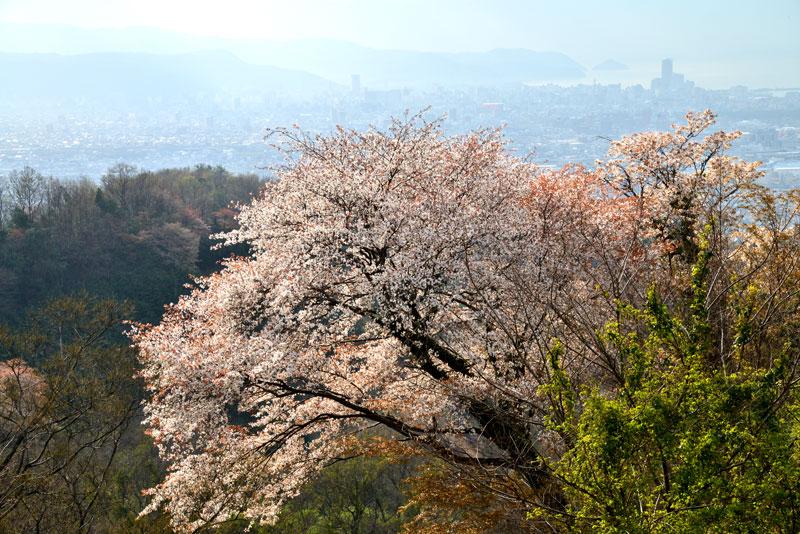 街を望む山桜 (香川県 高松市 牟礼町)