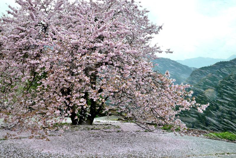 春が散る (徳島県 吉野川市 美郷)