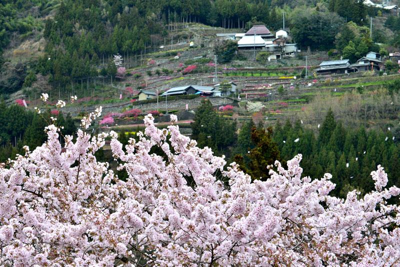 桜舞う山里 (徳島県 吉野川市 美郷)