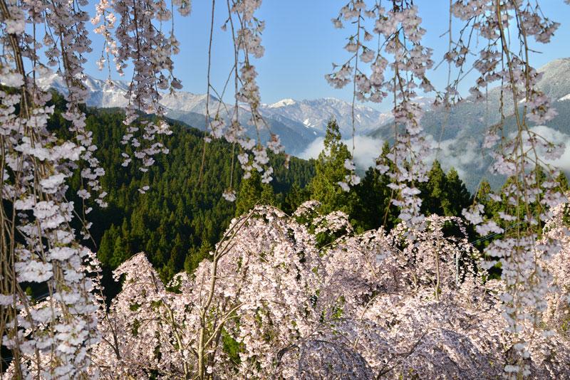 雪山望む花のれん (徳島県 美馬市 木屋平)