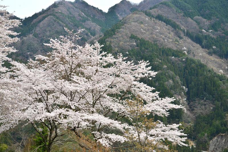 里山に春を告げ (徳島県 美馬市 木屋平)