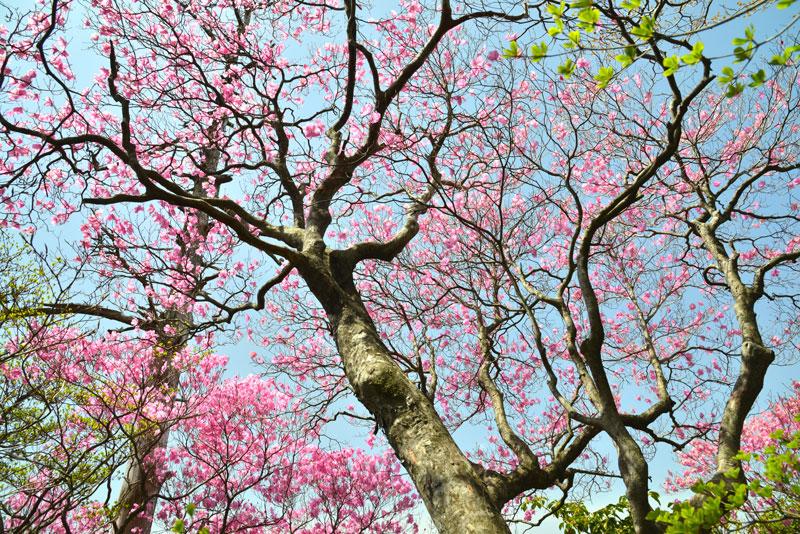 春を謳う (高知県 高岡郡 東津野 不入山)