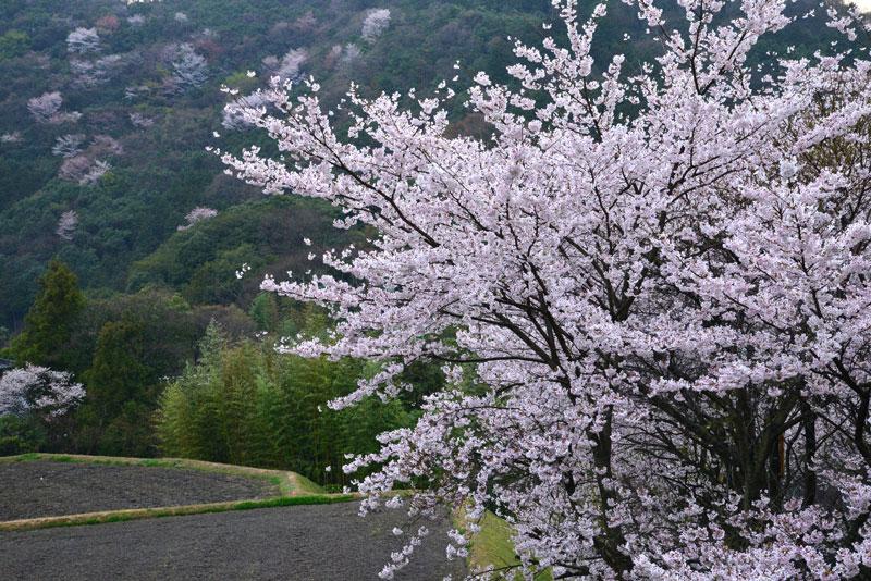 夕暮桜 (香川県 仲多度郡 まんのう町)