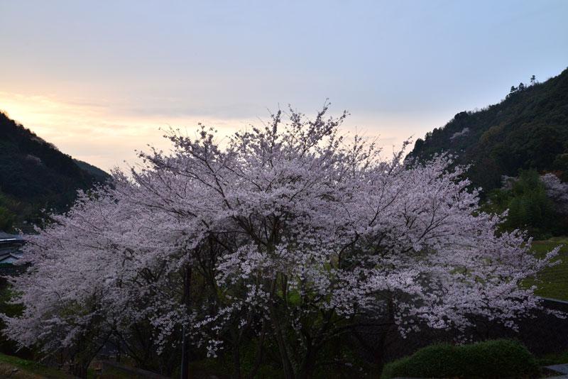 たそがれ桜 (香川県 仲多度郡 まんのう町)