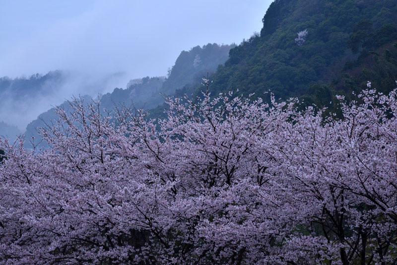 夕霧桜 (香川県 仲多度郡 まんのう町)