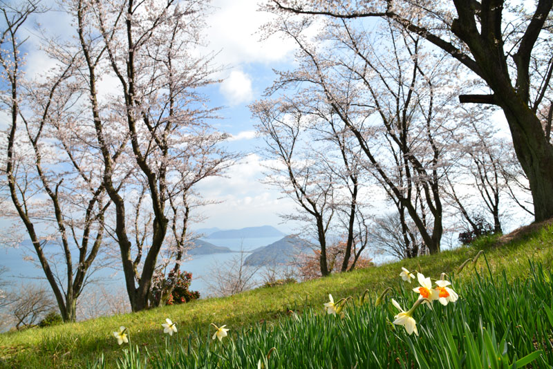 水仙と咲く (香川県 三豊市 詫間町)