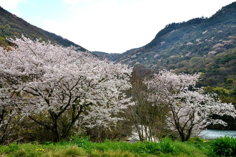 青梅花 (香川県 坂出市 青海町)