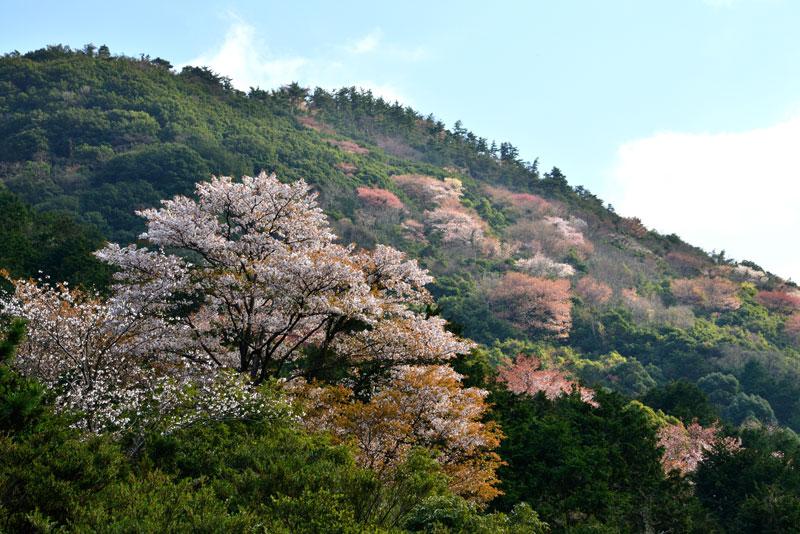 五色台 山桜 (香川県 高松市 五色台)