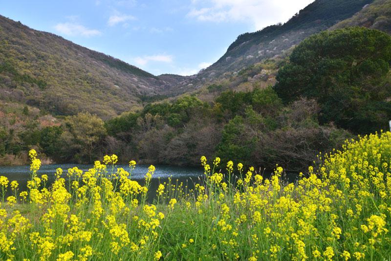 菜ノ花と山桜 (香川県 坂出市 青海町)