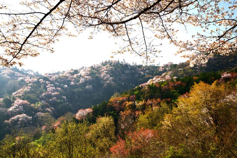 花散るとき (香川県 高松市 牟礼町)