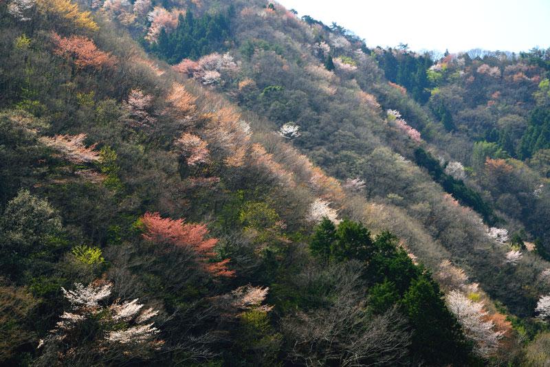 輝く山桜 (香川県 仲多度郡 まんのう町)