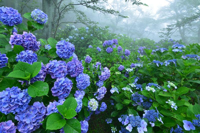 霧に霞むアジサイ (香川県 三豊市 詫間町 紫雲出山)