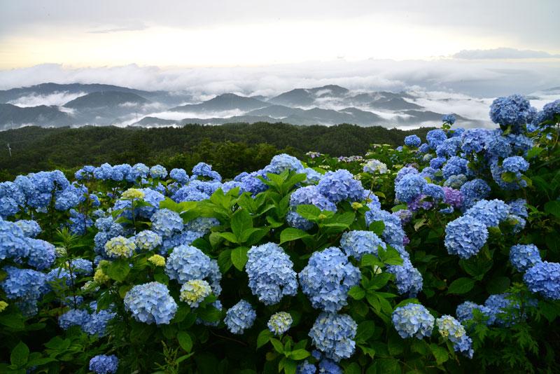 霧湧くアジサイ高原 (徳島県 名東郡 佐那河内 大川原高原)