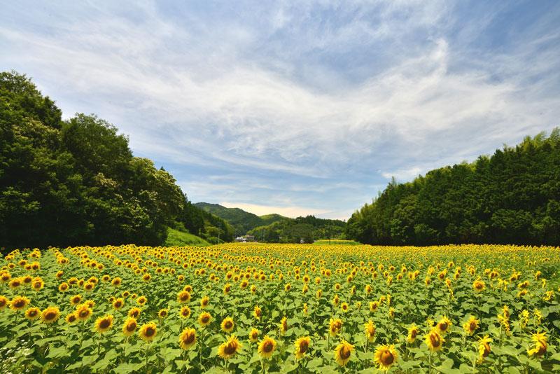 向日葵の丘 (香川県 仲多度郡 まんのう町)