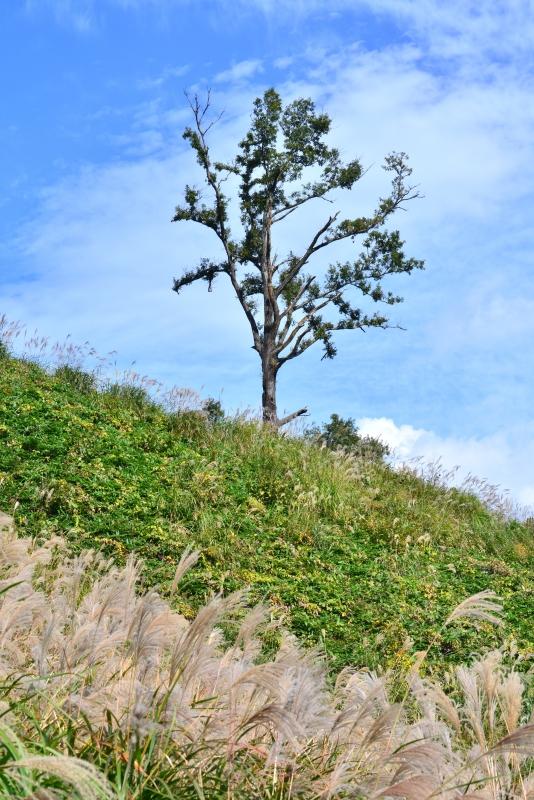 「気になる樹2」 (鳥取県東伯郡琴浦町船上山)