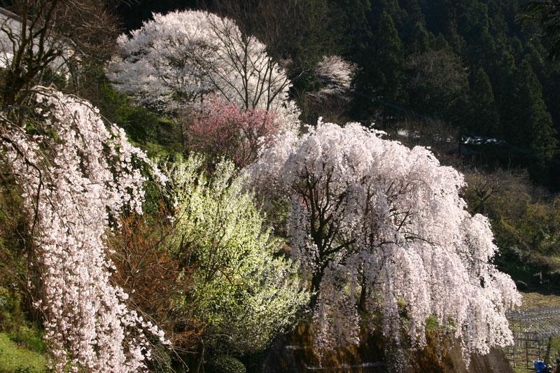 桜・サクラ・さくら (徳島県 美馬郡 つるぎ町)