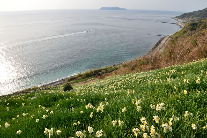潮騒 水仙の丘 (兵庫県 南あわじ市 灘黒岩水仙郷)