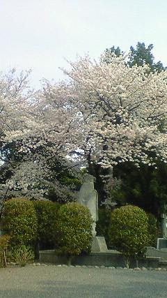 足利学校の桜